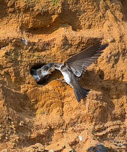 Sand martin (Riparia riparia) feeding young in nest hole at colony in sandstone cliffs, North Norfolk, UK, June. - David Tipling