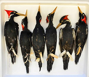Ivory-billed woodpecker (Campephilus principalis) skins, Natural History Museum, Tring, UK. Extinct species, occurred in USA and Cuba. - David Tipling