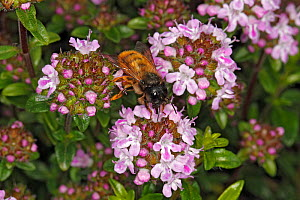 Red mason bee (Osmia bicornis) female feeding on Thyme (Thymus sp) flowers in garden. Cheshire, UK, May.  -  Alan  Williams