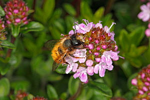 Red mason bee (Osmia bicornis) male feeding on Thyme (Thymus sp) flowers in garden. Cheshire, UK, April.  -  Alan  Williams