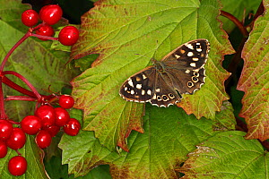Speckled wood butterfly (Pararge aegeria) resting on Guelder rose (Viburnum opulus) leaf. Cheshire, UK, August. - Alan  Williams
