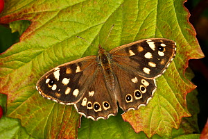 Speckled wood butterfly (Pararge aegeria) resting on leaf. Cheshire, UK, August.  -  Alan  Williams