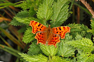 Comma butterfly (Polygonia c-album) resting on Nettle (Urtica dioica) leaf. Cheshire, UK, October.  -  Alan  Williams