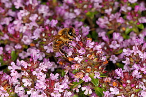 Honey bee (Apis mellifera) feeding on Thyme (Thymus sp) flowers in garden. Cheshire, UK, June.  -  Alan  Williams
