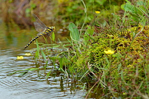 Golden-ringed dragonfly (Cordulegaster boltonii) female hovering above moorland stream, Bodmin Moor, Cornwall, UK, July.  -  Nick Upton