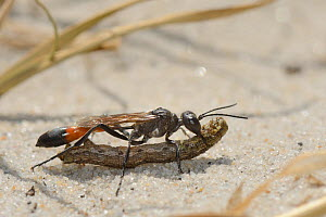 Heath sand wasp (Ammophila pubescens) carrying a caterpillar it has paralysed to its nest  as food for its larvae, Studland heath, Dorset, UK, July.  -  Nick Upton