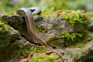 Slow worm (Anguis fragilis) on the move over a garden wall, Wiltshire, UK, July.  -  Nick Upton