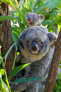 Koala (Phascolarctos cinereus) mother and joey aged sixth months, Queensland, Australia, captive. - Suzi Eszterhas
