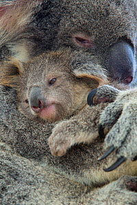 Koala (Phascolarctos cinereus) mother with joey aged eight months, Queensland, Australia, captive. - Suzi Eszterhas