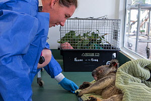 Vet with koala (Phascolarctos cinereus) male sick with chlamydia, Currumbin, Wildlife Hospital, Queensland, Australia, captive. - Suzi Eszterhas