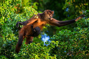 Black-handed spider monkey (Ateles geoffroyi) mother and baby, Osa Peninsula, Costa Rica.  -  Suzi Eszterhas