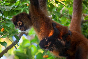 Black-handed spider monkey (Ateles geoffroyi), Mother and baby, Osa Peninsula, Costa Rica. Digitally removed highlight in background.  -  Suzi Eszterhas