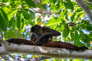 Black-handed spider monkey (Ateles geoffroyi) mother grooming baby, Osa Peninsula, Costa Rica.  -  Suzi Eszterhas