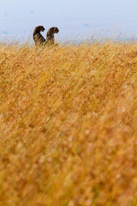 Two cheetahs (Acinonyx jubatus) in dry season,  Masai-Mara Game Reserve, Kenya. February.  -  Denis-Huot
