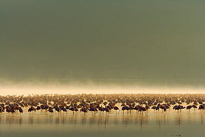 Lesser flamingo (Phoeniconaias minor) flock in the mist, Lake Nakuru, Kenya. March. - Denis-Huot