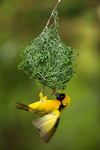Village weaver bird (Ploceus cucullatus) male building a nest after the rains, Masai-Mara Game Reserve, Kenya. February.  -  Denis-Huot