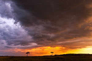 Trees silhouetted against sunset and clouds, Masai-Mara Game Reserve, Kenya. April 2013.  -  Denis-Huot