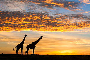 Masai giraffes (Giraffa camelopardalis tippelskirchi), at sunrise, Masai-Mara Game Reserve, Kenya. March. - Denis-Huot