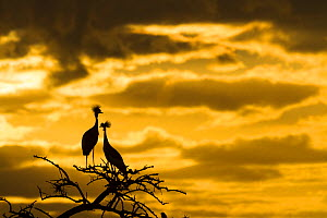 Crowned crane (Balearica regulorum gibbericeps) pair at sunrise, Masai-Mara Game Reserve, Kenya. June.  -  Denis-Huot