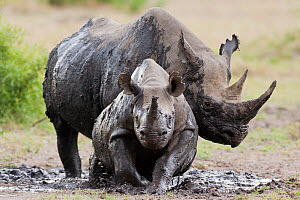 Black rhinoceros (Diceros bicornis) female and young in the mud, Masai-Mara Game Reserve, Kenya. February.  -  Denis-Huot