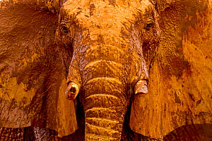African elephant (Loxodonta africana) male covered with mud at a water hole, Tsavo East National Park, Kenya. August. - Denis-Huot