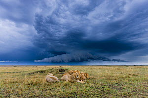 Group of male African lions (Panthera leo) resting with storm clouds overhead, Masai-Mara Game Reserve, Kenya. September. - Denis-Huot