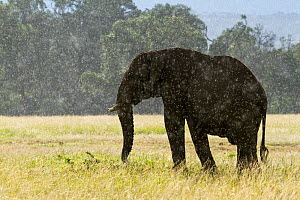African elephant (Loxodonta africana) standing in the rain, Masai-Mara Game Reserve, Kenya. March.  -  Denis-Huot