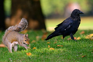 Grey squirrel (Sciurus carolinensis) burying Peanut given to it by tourist in lawn, being watched by Carrion crow  (Corvus corone) who will then steal the cache later, St.James's Park, London, UK, Sep... - Nick Upton