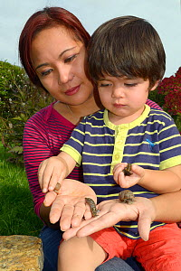 Mother and young boy holding garden snails (Helix aspersa) and Leopard /Great grey slugs  (Limax maximus) in their hands, Bristol, garden UK, October 2014. Model released.  -  Nick Upton