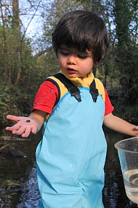 Young boy looking at Pond snail he has caught in stream, held in his hand, Bristol, UK, October 2014. Model released.  -  Nick Upton