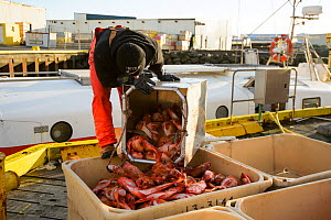 Commercial fisherman unloading Redfish (Sebastes sp) Grindavik harbour, Iceland, March 2014.  -  Terry  Whittaker