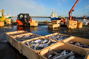 Crates of Cod (Gadus morhua) on Grindavik harbour, caught by commercial fishing vessel, Iceland, March 2014.  -  Terry  Whittaker