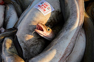 Cod (Gadus morhua) caught by commercial fishing vessel, Grindavik harbour, Iceland, March 2014.  -  Terry  Whittaker