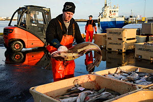 Commercial fishermen unloading and sorting Cod (Gadus morhua) Grindavik harbour, Iceland, March 2014.  -  Terry  Whittaker