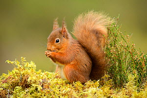 Red squirrel (Sciurus vulgaris) feeding, Black Isle, Scotland, UK, February.  -  Terry  Whittaker