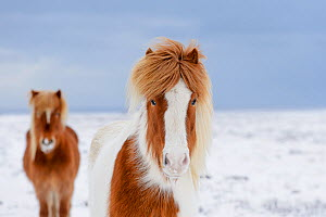 Skewbald and chestnut Icelandic horses in the snow, Snaefellsnes Peninsula, Iceland, March.  -  Terry  Whittaker
