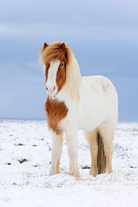 Portrait of Skewbald Icelandic horse in the snow, Snaefellsnes Peninsula, Iceland, March. - Terry  Whittaker