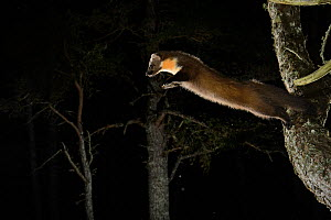 Pine marten (Martes martes) jumping from branch, Black Isle, Scotland, UK, February. Photographed by camera trap, Sequence 1 of 2. - Terry  Whittaker