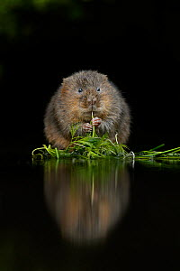 Water vole (Arvicola amphibius) feeding at edge of water, Kent, UK, December.  -  Terry  Whittaker
