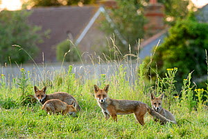 Family of Red foxes (Vulpes vulpes) on railway embankment, Kent, UK, July.  -  Terry  Whittaker
