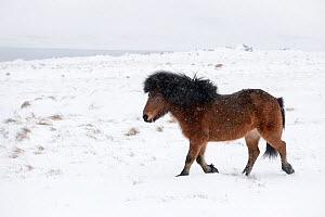 Bay Icelandic horse trotting in the snow, Snaefellsnes Peninsula, Iceland, March.  -  Terry  Whittaker