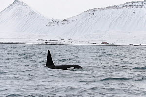 Male North Atlantic Killer whale (Orcinus orca) at surface near coast, Grundarfjordur, Iceland, March.  -  Terry  Whittaker
