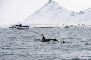 North Atlantic Killer whales (Orcinus orca) at surface with whale watching boat in distance. Grundarfjordur, Iceland, March 2014.  -  Terry  Whittaker