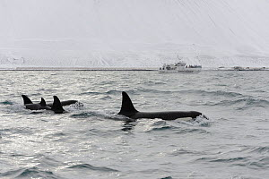 North Atlantic Killer whale (Orcinus orca) group at surface with whale watching boat in distance. Grundarfjordur, Iceland, March 2014.  -  Terry  Whittaker