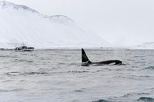 Male North Atlantic Killer whale (Orcinus orca) at surface with whale watching boat in distance. Grundarfjordur, Iceland, March 2014.  -  Terry  Whittaker