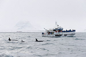 Tourists on boat watching pod of North Atlantic Killer whales (Orcinus orca) at surface, Grundarfjordur, Iceland, March 2014.  -  Terry  Whittaker