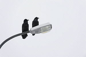 Ravens (Corvus corax) perched on lamppost, Grundarfjordur, Iceland, March.  -  Terry  Whittaker