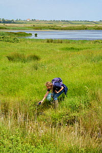 Louise Allen of Kent Wildlife Trust 'Water Vole Recovery Project' surveying for signs of Water voles (Arvicola amphibius), using GPS to record data. North Kent Marshes, UK, June.  -  Terry  Whittaker
