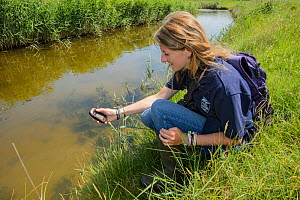 Louise Allen of Kent Wildlife Trust 'Water Vole Recovery Project' surveying for signs of Water voles (Arvicola amphibius). North Kent Marshes, UK, June.  -  Terry  Whittaker
