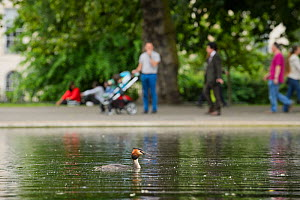 Great crested grebe (Podiceps cristatus) on water with people in background, Regents Park, London, UK, May.  -  Terry  Whittaker
